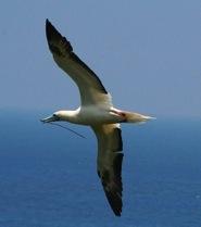 sula-bird
